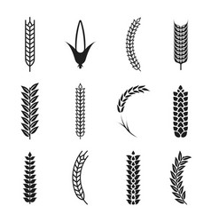 wheat ears icons oat and wheat grains corn icon vector image