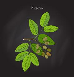 pistachio pistacia vera vector image