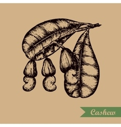 Cashew branch with leaves and nuts Engraving vector image vector image
