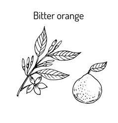 Bitter orange twig with flowers vector