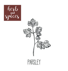 parsley hand drawing herbs and spices vector image