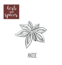 Anise hand drawing herbs and spices vector