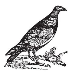 turkey vulture vintage vector image