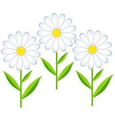 Flower chamomile isolated vector