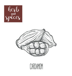 cardamom hand drawing herbs and spices vector image vector image