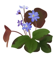 Hepatica flowers with leaves isolated vector