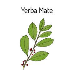 Yerba mate ilex paraguariensis medicinal plant vector