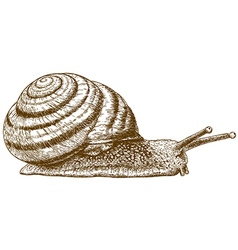 engraving snail vector image