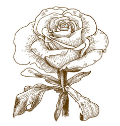 Engraving of rose flower vector