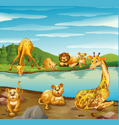 Scene with giraffes and lions by the river vector