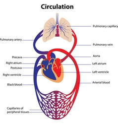 schematic representation of the human circulatory vector image