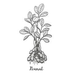 peanut plant vector image