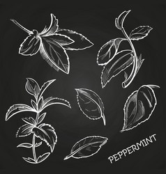 Hand drawn mint leaves peppermint set on vector