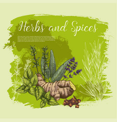 sketch poster of spices and herbs vector image