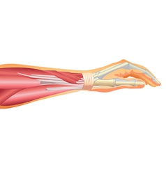 Arm muscles and tendons vector image