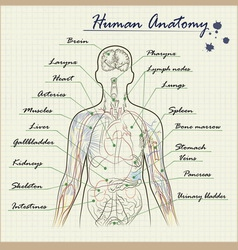 Human anatomy diagram vector