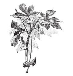 Buckeye leaves vintage vector