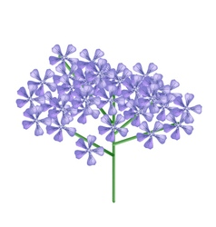 Bunch of violet rose geranium vector