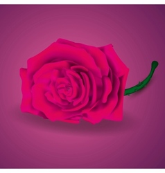 Pink Rose On Purple Background for Velentines day vector image vector image