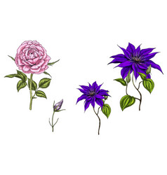 Set with clematis and rose flowers vector