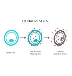 oxidative stress diagram vector image vector image