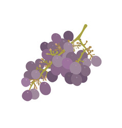 a bunch of grapes isolated vector image vector image