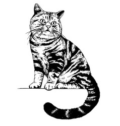 Scottish cat drawing vector image