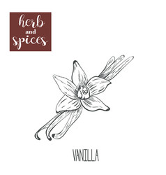 Vanilla hand drawing herbs and spices vector