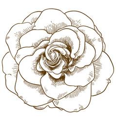 engraving of rose flower vector image