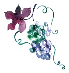 Painted watercolor grape vector image vector image