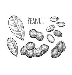 Peanut sketch set vector