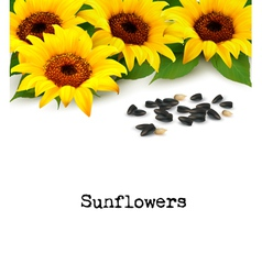 Sunflowers background with sunflower seeds vector