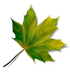 Green maple leaf isolated on white background vector