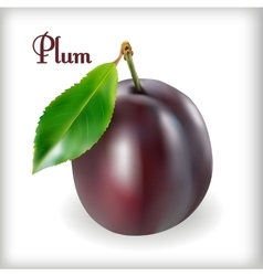 Ripe plums with stem vector