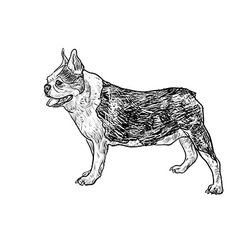 Drawing side of french bulldog vector image