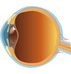 Structure of human eye section vector