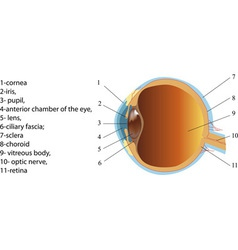 Structure of human eye section poster vector