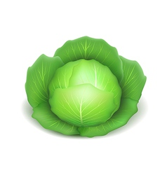 Cabbage isolated on white vector