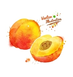 Watercolor peach vector