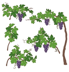Grape bush vector