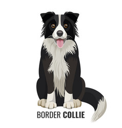 Border collie pet isolated on white vector