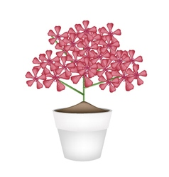Bunch of red geranium flowers in a pot vector