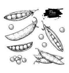 pea hand drawn set isolated vector image