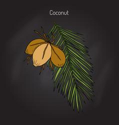 coconut cocos nucifera vector image