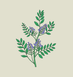 Pretty botanical drawing of blooming licorice vector