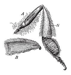 Bee leg vintage vector