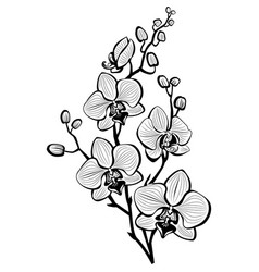 sketch of orchid flowers vector image vector image
