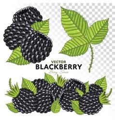 Blackberry Set vector image vector image