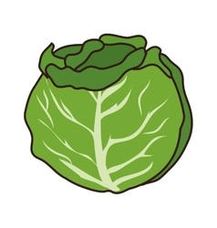 cabbage vegetable food vector image vector image