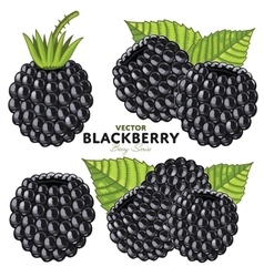 Blackberry set vector